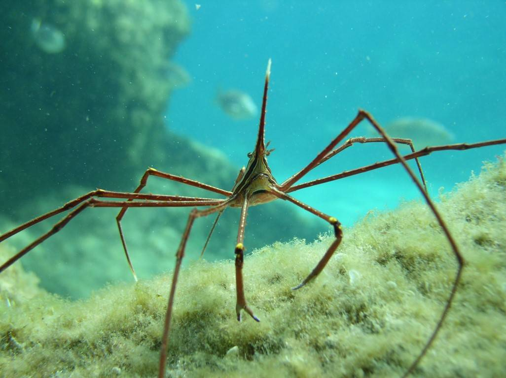 Cangrejo araña