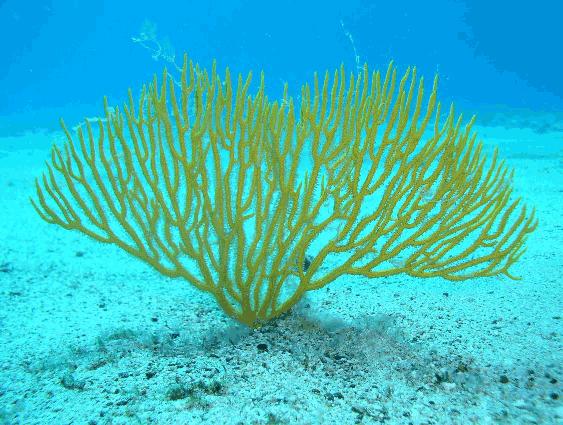 Gorgonia amarilla